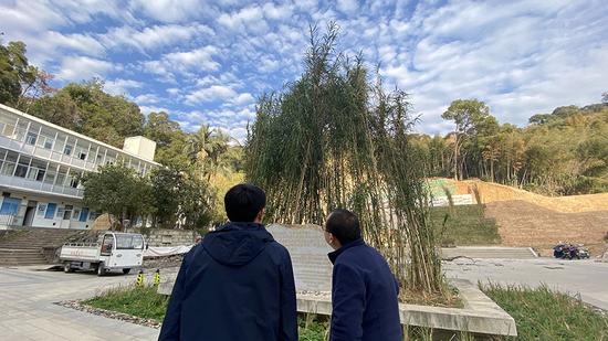 福建农林大学校园内,多处栽培着数米高的巨菌草。