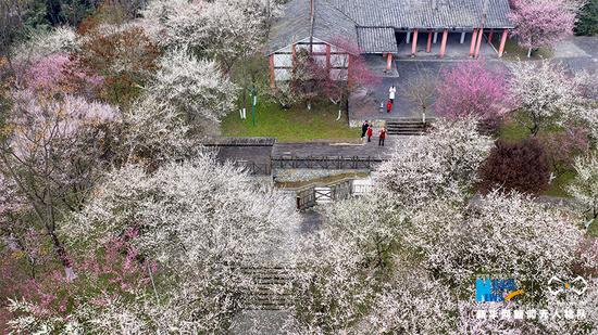满园春色关不住!近期,重庆市北碚区静观镇的五彩梅园花香四溢,白色、绿色、粉红色、玫红色的梅花竞相绽放,吸引众多游客前来踏青赏花。新华网发(秦廷富 摄)