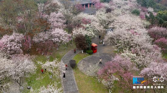 这是无人机拍摄的五彩梅园春景。新华网发(秦廷富 摄)