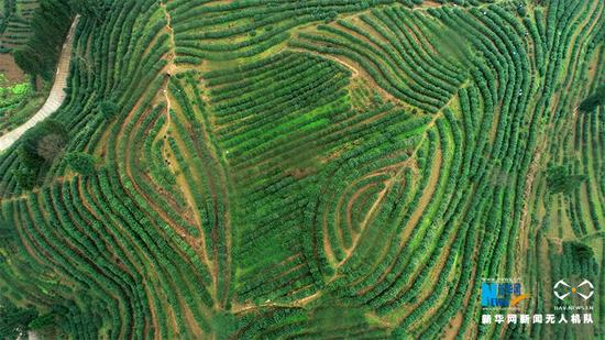 这是无人机拍摄的茶园。新华网发(陈碧生 摄)