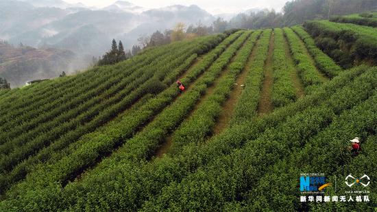 嫩绿的茶叶、清新的空气、穿梭的茶农……构成了一幅美丽的乡村画卷。新华网发(陈碧生 摄)