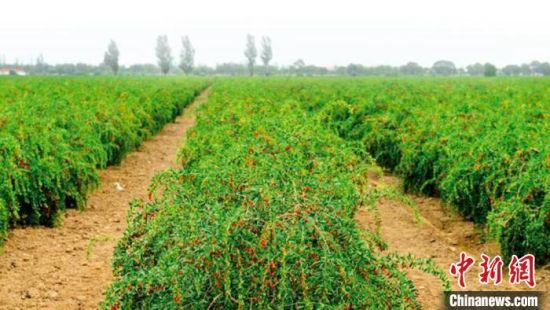 图为瓜州县标准化枸杞种植基地。