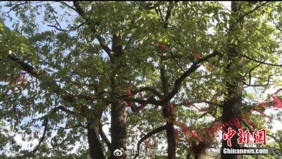 图为盘坐对称的千年青冈树。