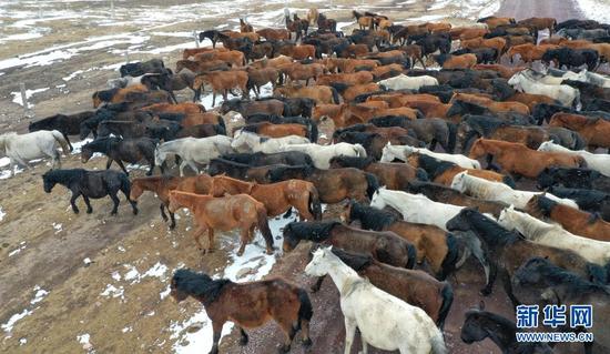 3月31日在山丹马场拍摄的风雪中的马群(无人机照片)。新华社发(王超 摄)
