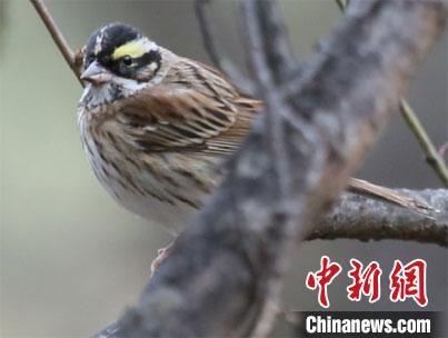 兰州大学生命科学学院动物生态学研究团队在甘肃碌曲县发现的黄眉鹀,是甘肃鸟类分布新记录,为甘肃鸟类家族增添了一个新成员。