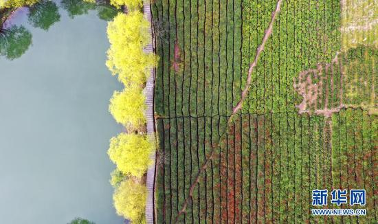 文县碧口镇马家山村的茶园(3月14日摄,无人机照片)。新华社记者 陈斌 摄
