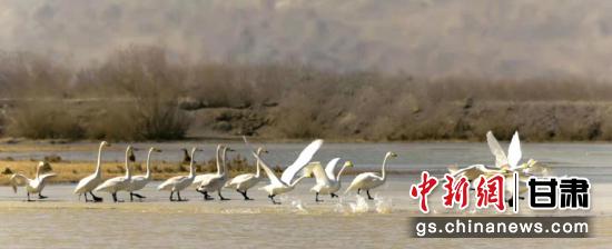 图为候鸟在瓜州县唐墩湖省级自然保护区东巴兔管护站水域内觅食嬉戏。王俊 摄