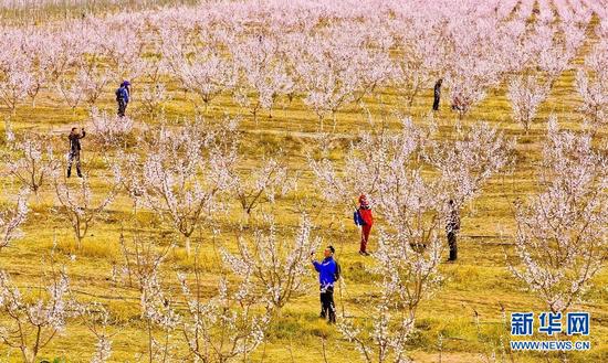 4月3日,游客在金满园杏园种植基地里游玩。新华网发(王将 摄)