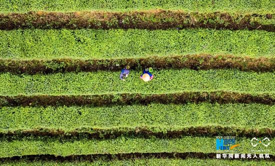 3月5日在四川省绵竹市土门镇困牛山水库拍摄的茶园。新华网发(周乐鹏 摄)