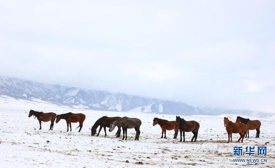 3月31日,在山丹马场,马群在风雪中觅食。新华社发(王超 摄)
