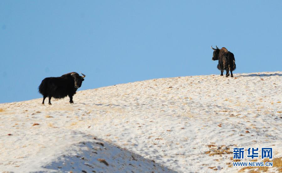 12月23日在哈尔腾草原上拍摄的两头国家一级保护动物野牦牛。