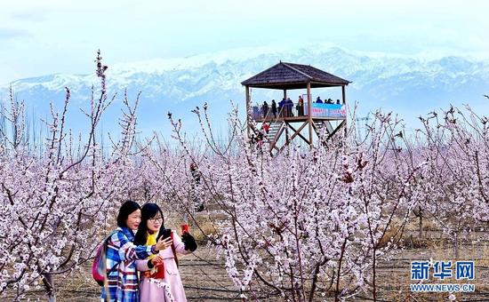 4月3日,游客在祁连山下的金满园杏园种植基地里拍照留念。新华网发(王将 摄)