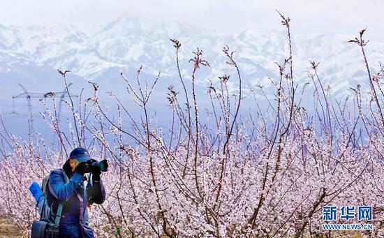 4月3日,摄影师在金满园杏园种植基地里拍照。新华网发(王将 摄)