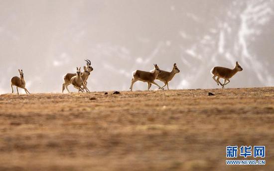 1月9日,藏原羚在阿克塞哈萨克族自治县阿勒腾乡哈尔腾草原上奔跑。新华社发(高宏善 摄)