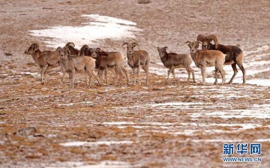 1月9日,盘羊在阿克塞哈萨克族自治县阿勒腾乡哈尔腾草原上活动。新华社发(高宏善 摄)