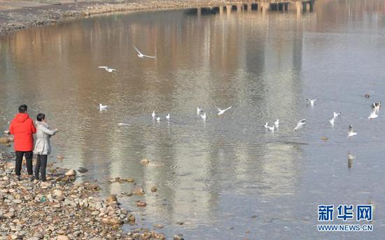 1月17日,在甘肃省临夏回族自治州永靖县刘家峡镇,居民给红嘴鸥喂食。新华社发(史有东 摄)