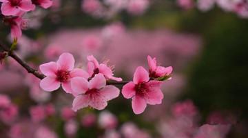 桂林:灵川桃花朵朵开