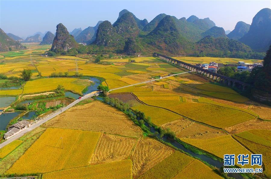 航拍的广西柳州市柳江区成团镇稻田.