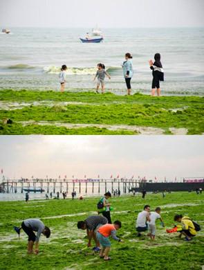 """绿藻爆发 广西北海银滩变""""绿洲"""""""