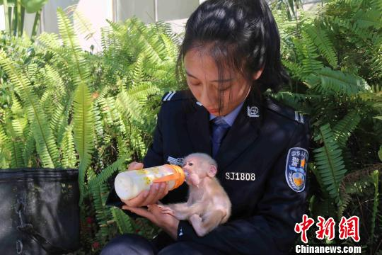 图为图为辅警对豚尾猴幼崽悉心照料。普洱市森林公安局供图