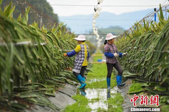 进入春耕时节,果园工人给火龙果修枝剪芽。 钟欣 摄