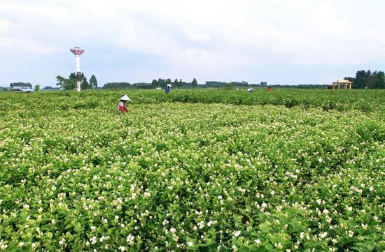 南宁市横县茉莉花保护和发展条例草案公开征求意见