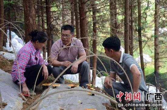 图为临桂区林下种植业。杨浩 摄