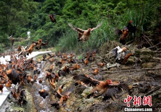 图为5月17日拍摄的合作社养殖场会飞的土鸡。 韦鼎标 摄