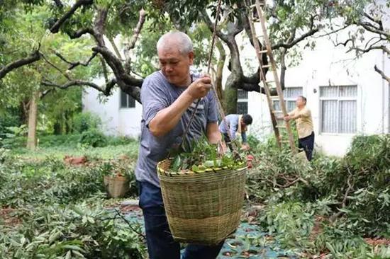 采摘荔枝的园林科工作人员。