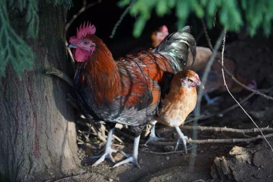养殖基地里的土鸡