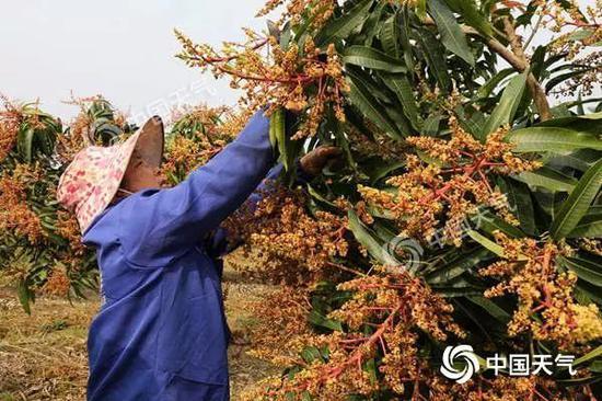 11日,田阳县天晴,百育镇新民村的果农在护理果树。(摄影:周冬梅)