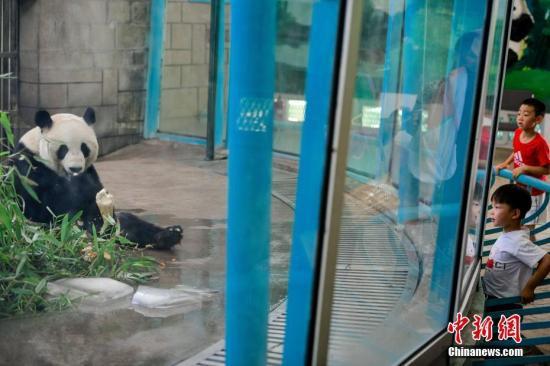 7月4日,天津动物园,一只熊猫在空调屋内吃着竹子。佟郁 摄