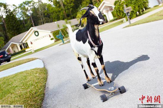 图为用滑板滑行最远距离的山羊。