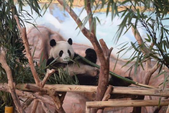 前方高萌!大熊猫绩美、绩兰 正式亮相南宁动物园