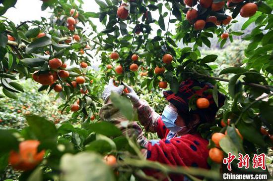 广西龙胜:柑桔丰收采销忙 产量超过27000吨
