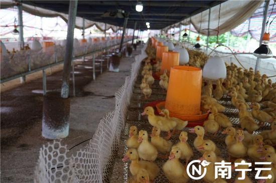 邓圩村旱鸭养殖特色产业扶贫示范园。记者 邓玲 摄