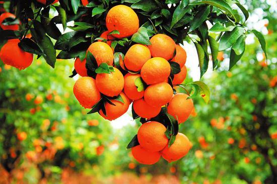 明年1月5日甜美多汁的沃柑就要大批上市了。通讯员梁挺摄
