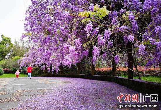 桂林园博园紫藤。李腾钊 摄