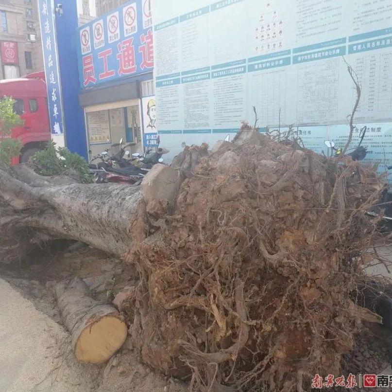 """已有30年树龄!南宁32棵榕树不翼而飞 75棵被""""剃头"""""""