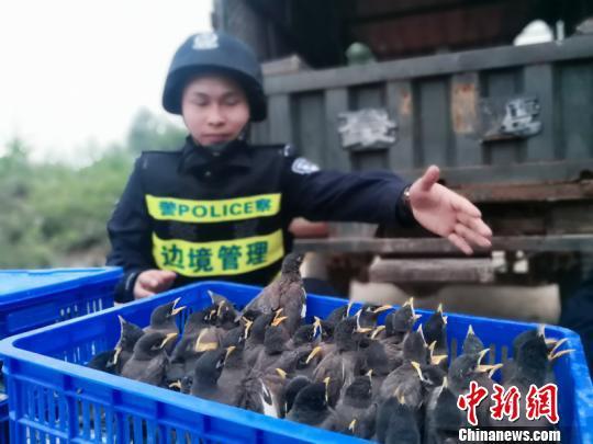 图为被查获的八哥 李仁毅 摄