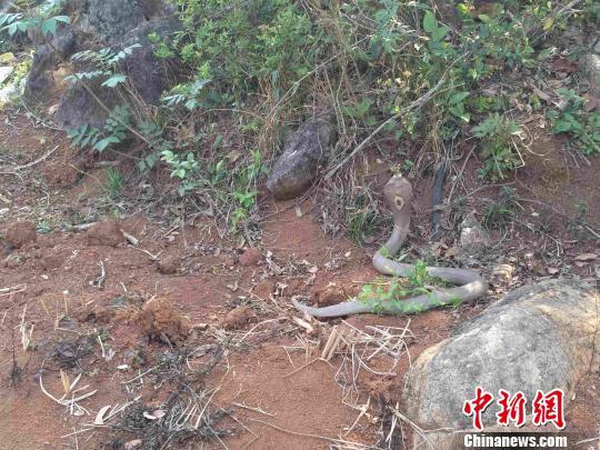 图为眼镜蛇被放归自然。蒙自市自然资源公安局供图