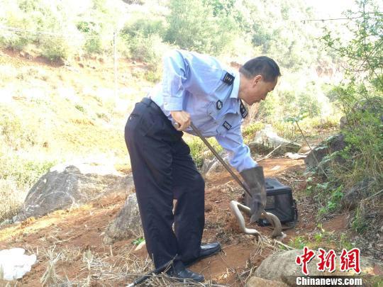 图为蒙自市民警将眼镜蛇放归自然。蒙自市自然资源公安局供图