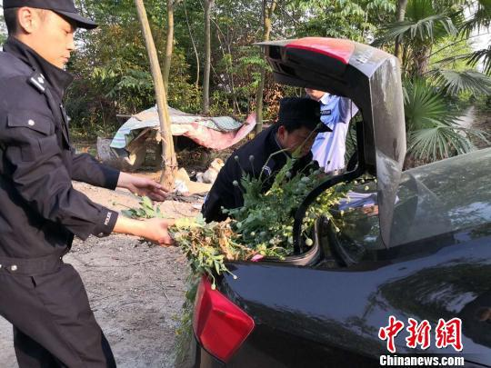 图为民警铲除并收缴了百余棵罂粟 杜忠华 摄