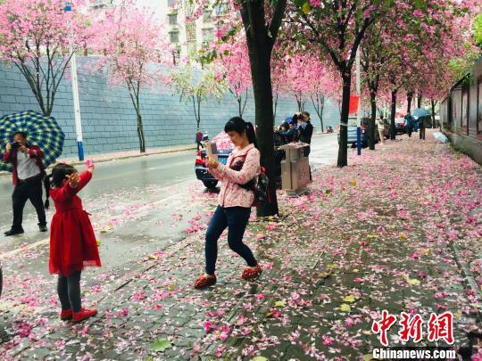 进入4月,柳州种植的27万株紫荆花进入盛花期。 周潇男 摄