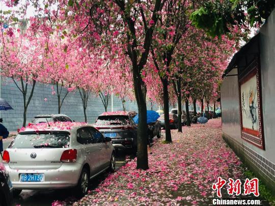 """柳州缤纷花海成""""网红"""" 游客竞赴""""紫荆花之约"""""""