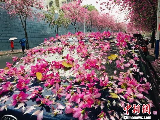 """一场春雨过后,停在紫荆花树下的轿车变为""""花车""""。  周潇男 摄"""
