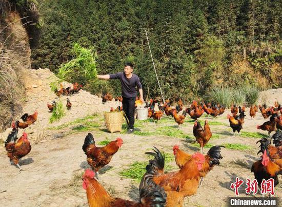 """肖益顺给""""大坡飞鸡""""喂草。 滕以洪 摄"""