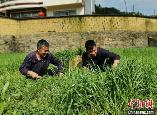 肖益顺收割牧草,为鸡准备食物。 滕以洪 摄
