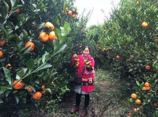 刘细妹采摘蜜桔。