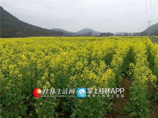 """秋冬蔬菜绿肥""""齐上阵"""" 桂林冬闲田变增收田"""